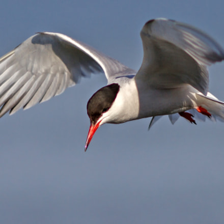 Common Tern, Canon EOS 7D, Canon EF 200mm f/2.8L