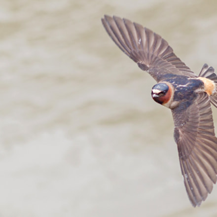 Swallow in Flight, Canon EOS-1D MARK IV, Canon EF 200mm f/2.8L