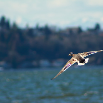 Flying duck, Canon EOS REBEL T5I, Canon EF 75-300mm f/4-5.6 USM