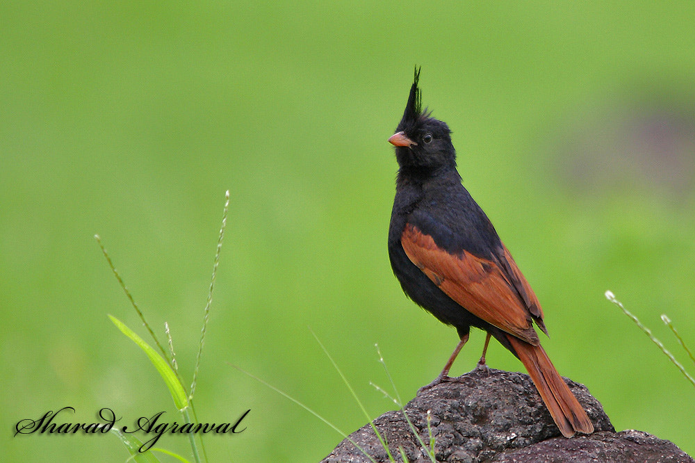Photograph The Crested Bumting  by Sharad Agrawal on 500px