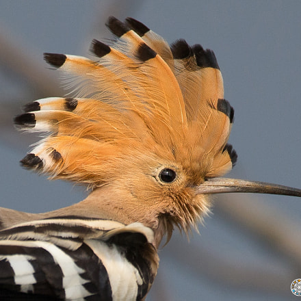 Hoopoe in Yakushima, Canon EOS-1D X, 150-600mm F5-6.3 DG OS HSM | Contemporary 015