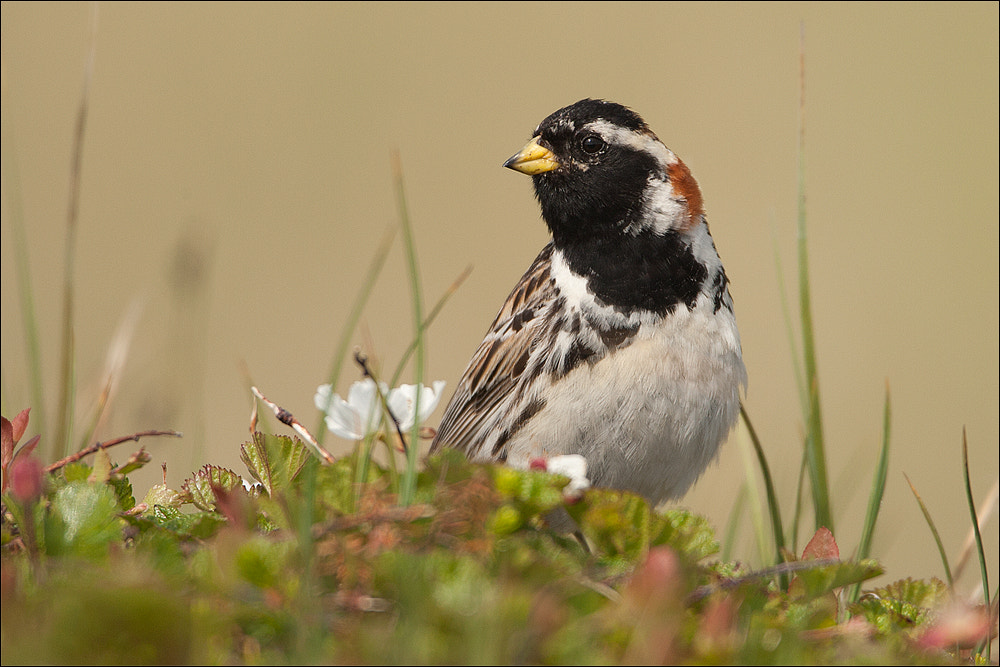Photograph Lapland Bunting by Attila Seprenyi on 500px