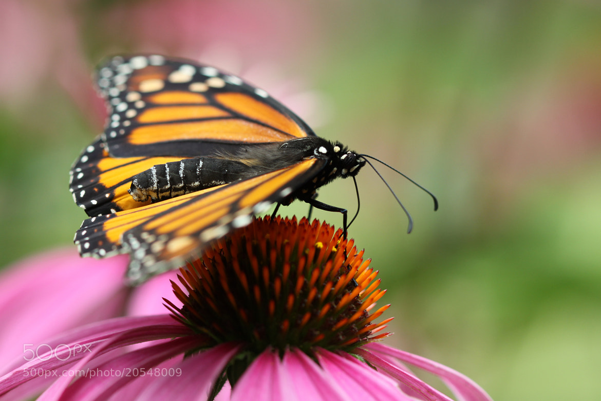 Photograph Monarch In Cone Country by Kenneth  Maurer on 500px