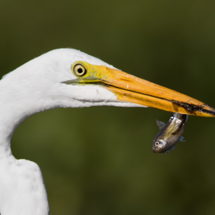 A Great Egret with, Canon EOS 7D MARK II, Canon EF 400mm f/2.8L IS II USM