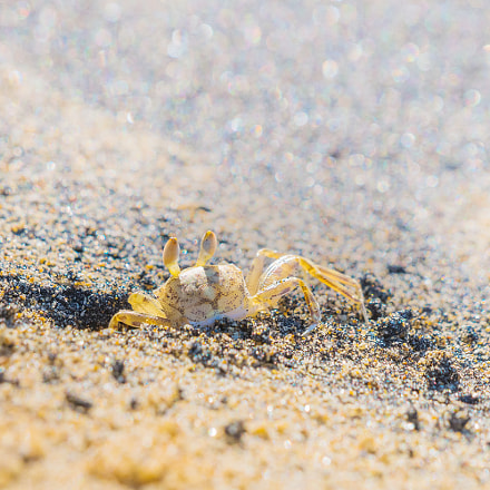 Ghost crab, Sony SLT-A99, 70-400mm F4-5.6 G SSM