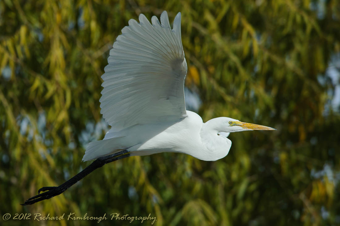 Photograph Great Egret in Flight by Richard Kimbrough on 500px