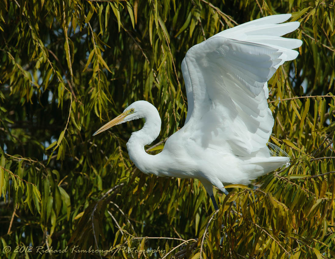 Photograph Great Egret by Richard Kimbrough on 500px