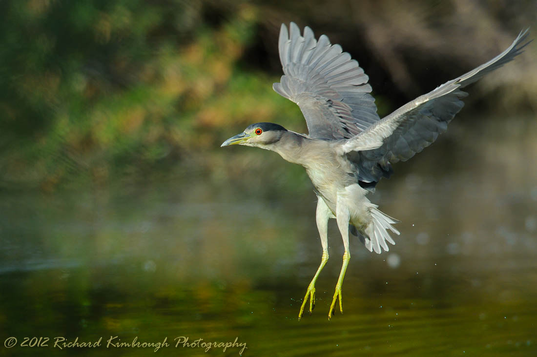 Photograph A Night Heron Heads for the Water by Richard Kimbrough on 500px