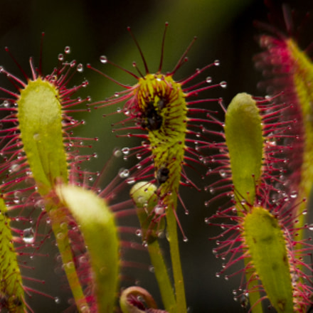 Great sundew devouring insect