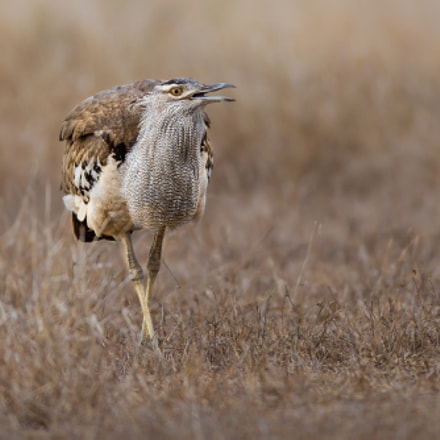 A Kori Bustard, Canon EOS-1D MARK IV, Canon EF 600mm f/4L IS