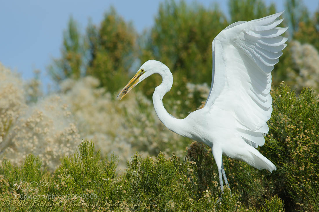 Photograph A Great Egret with a Stolen Fish by Richard Kimbrough on 500px