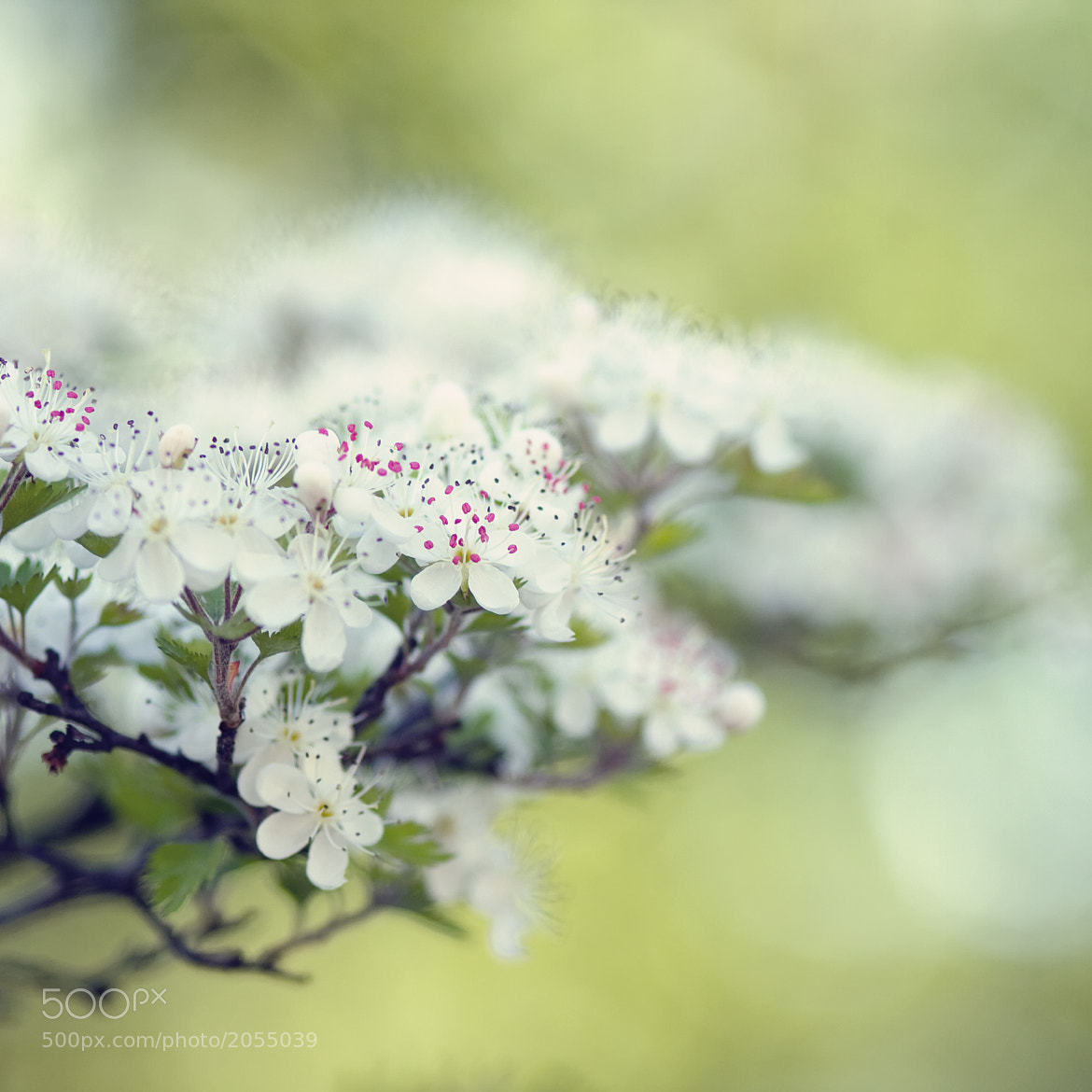 Photograph Blossoms by Joel Olives on 500px