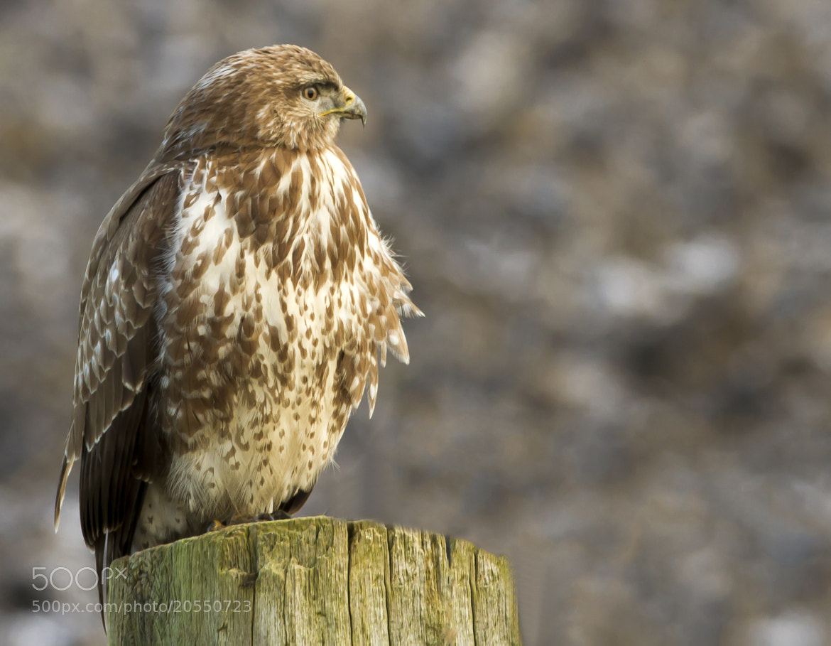 Photograph Common Buzzard  by willem dtfoto on 500px