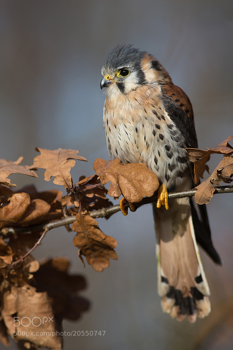 Photograph  Falco Sparverius by Milan Zygmunt on 500px