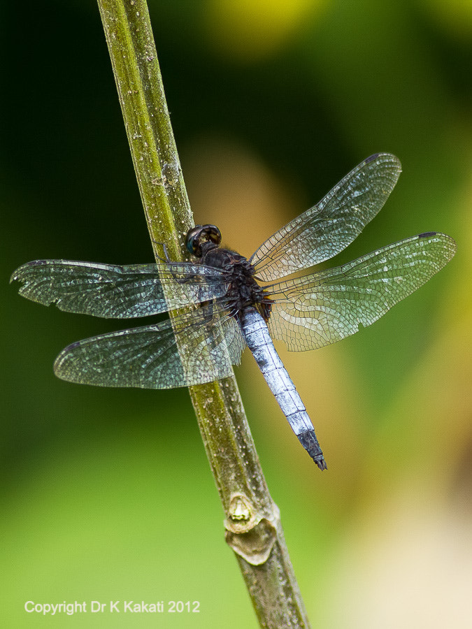 Photograph Dragon Fly by Kalpa Kakati on 500px