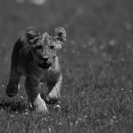 Young hunter, Canon EOS-1D X, Canon EF 600mm f/4.0L IS II USM + 1.4x