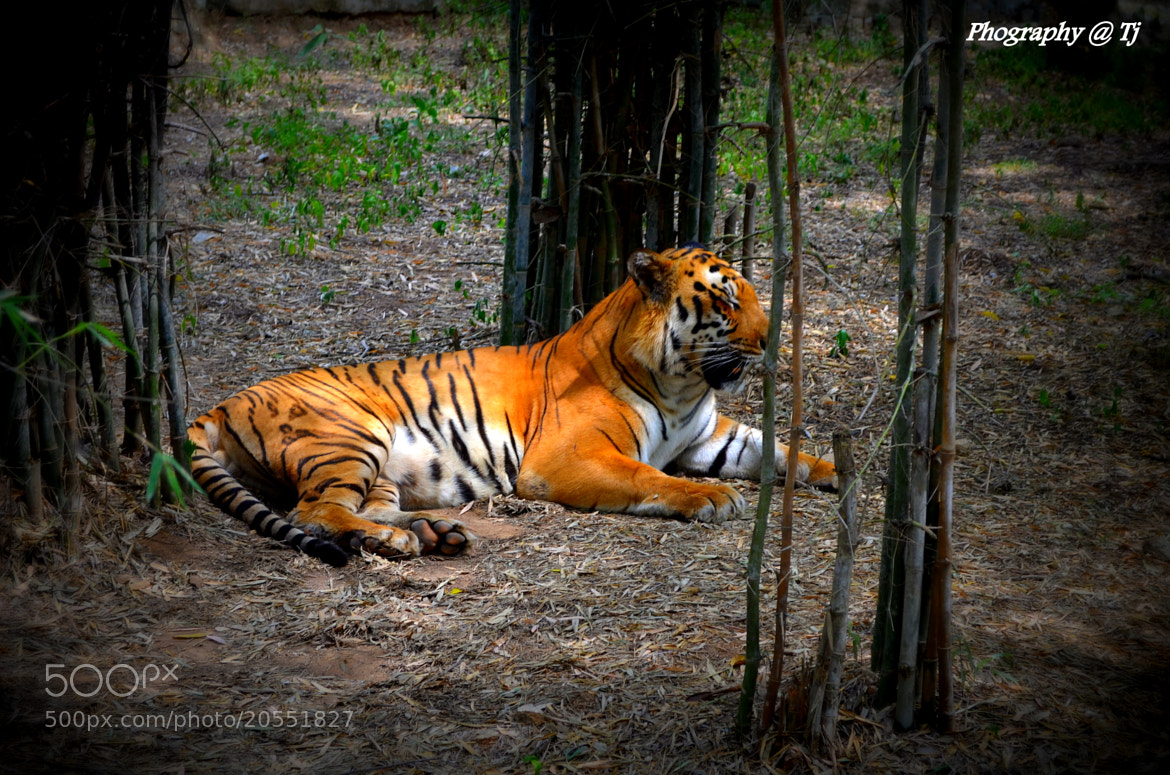 Photograph tiger view by tejz TJ on 500px
