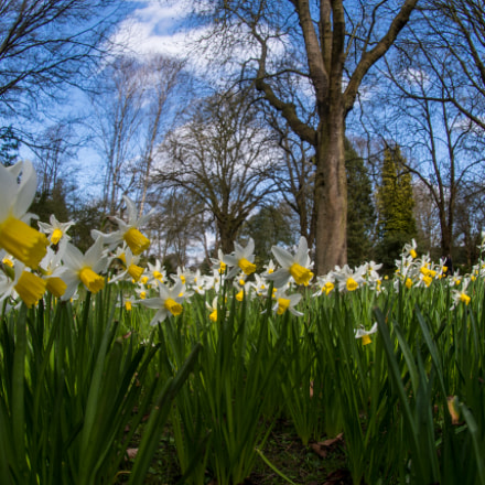 Narcissus In Bloom, Nikon D500, AF DX Fisheye-Nikkor 10.5mm f/2.8G ED