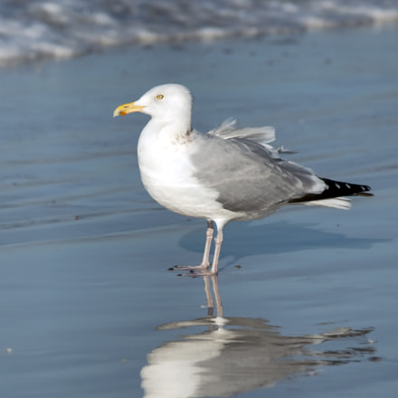 Herring gull, Canon EOS 70D, Canon EF 70-300mm f/4-5.6 IS USM