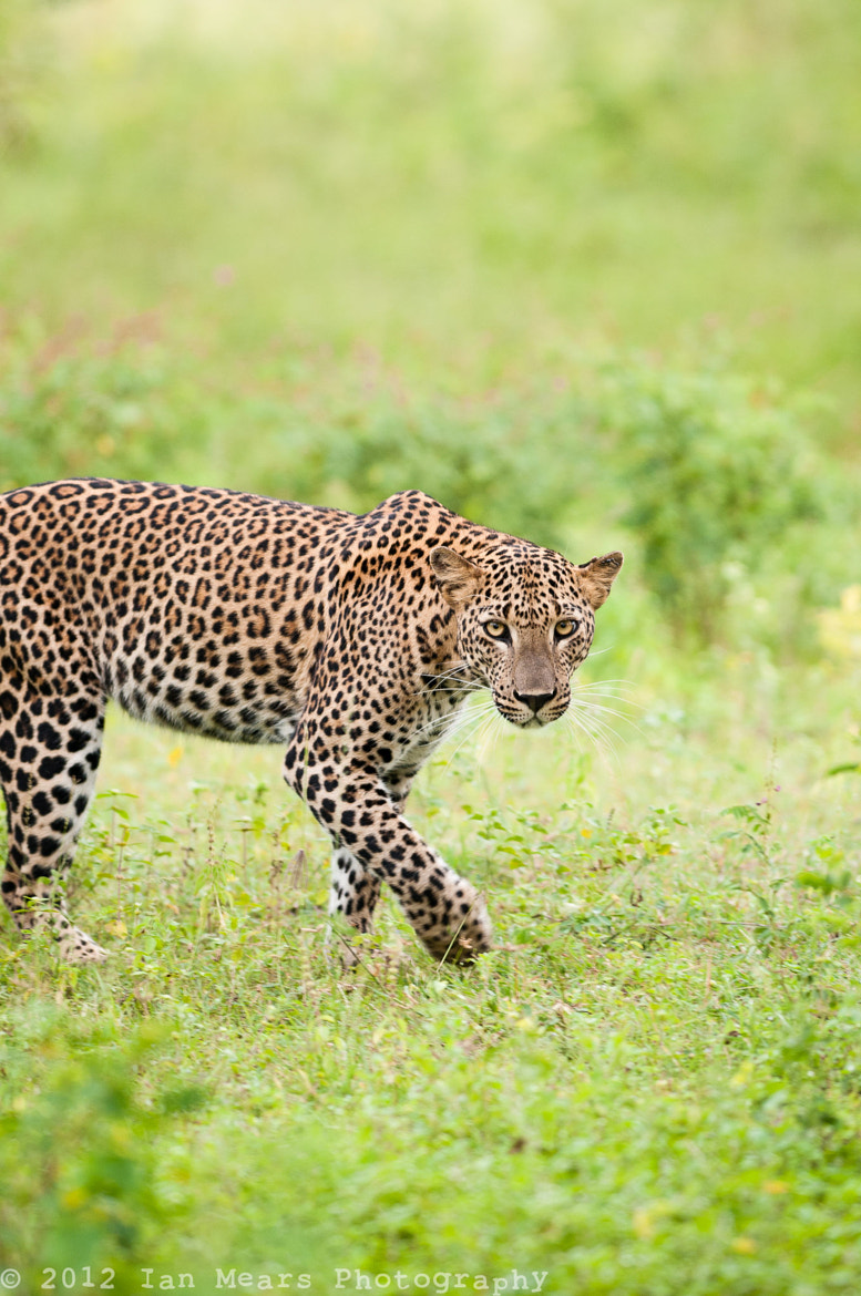 Photograph Leopard by Ian Mears on 500px