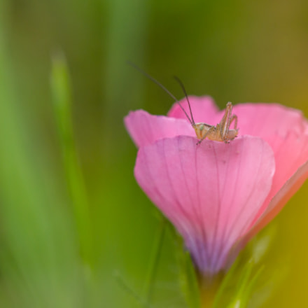 Pink, Canon EOS 60D, Tamron SP AF 180mm f/3.5 Di Macro