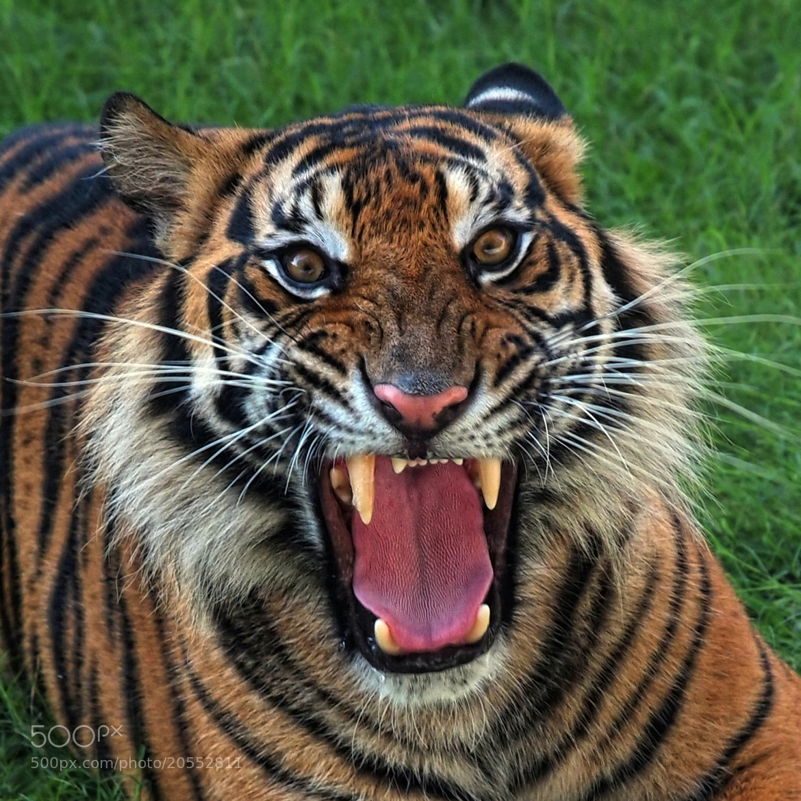 Photograph angry tiger 4 by fajar andriyanto on 500px - Show me a picture of the tiger ...