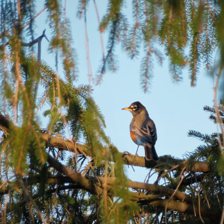Robin In a Pine, Canon EOS 70D, Sigma 18-250mm f/3.5-6.3 DC OS HSM
