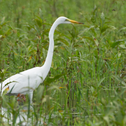 Grande Aigrette, Canon EOS 5D MARK III, 150-600mm F5-6.3 DG OS HSM | Contemporary 015