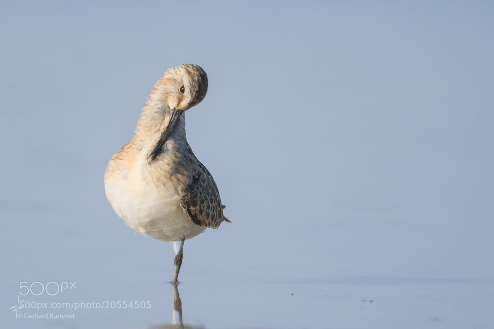 Photograph Curlew Sandpiper by Gerhard Kummer on 500px