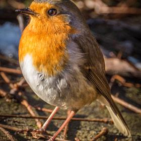 Rotkehlchen | Robin
