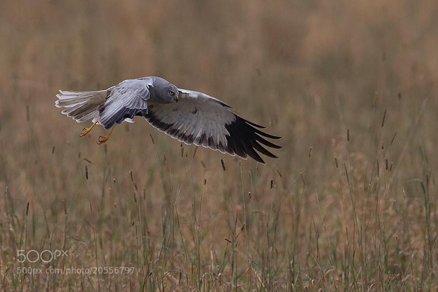 Photograph  Hen Harrier - Male by Siegfried Noët on 500px