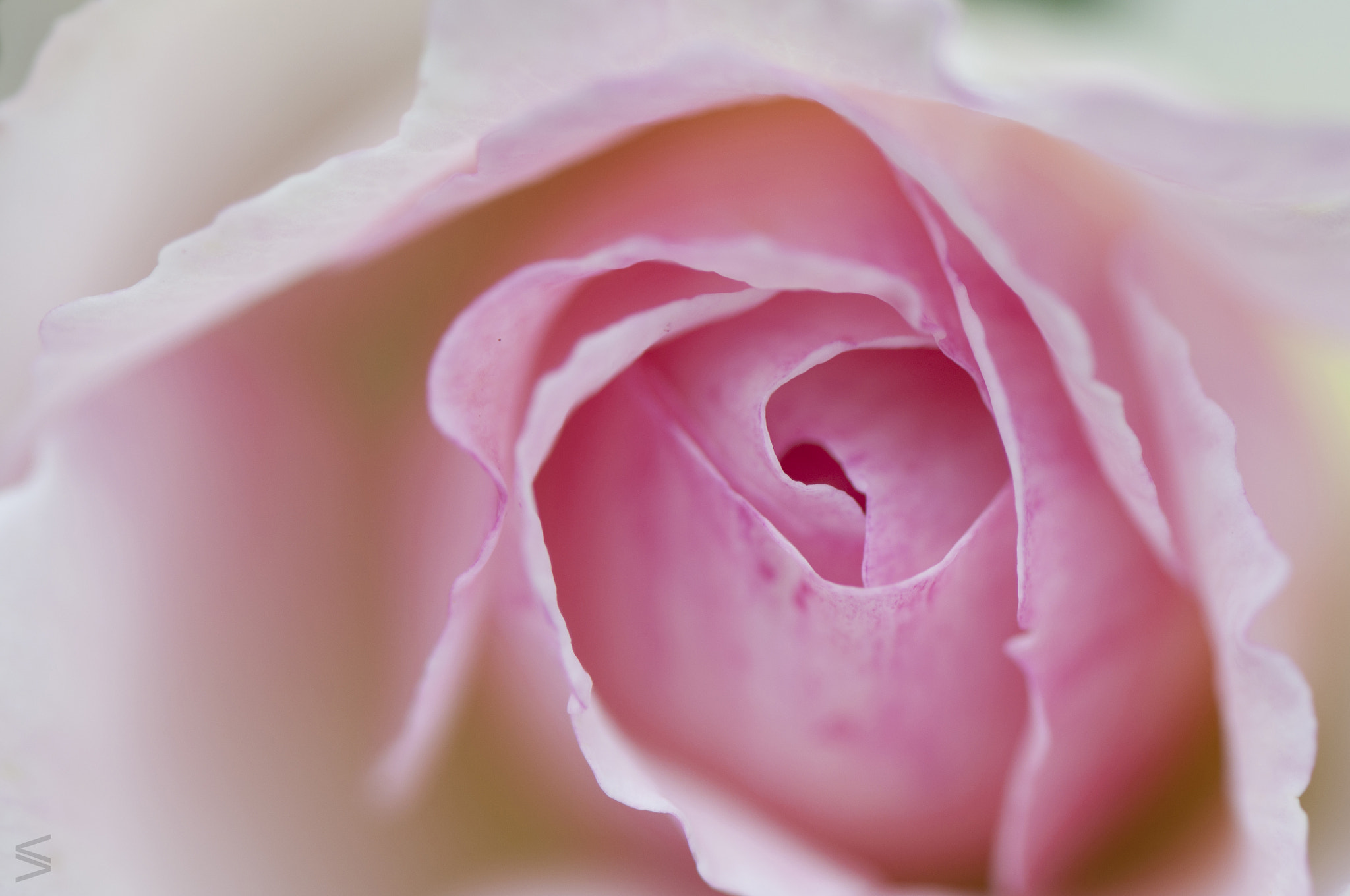 Photograph Macro of a Rose by Veronica Vascotto on 500px