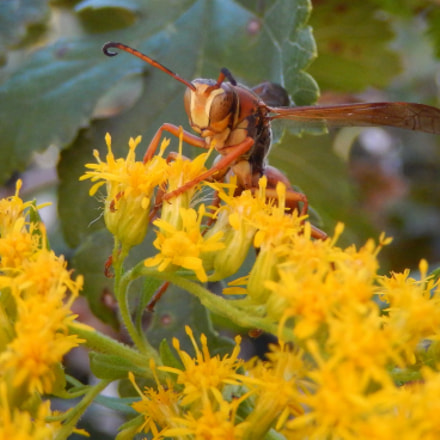 Red Wasp, Nikon COOLPIX S9400