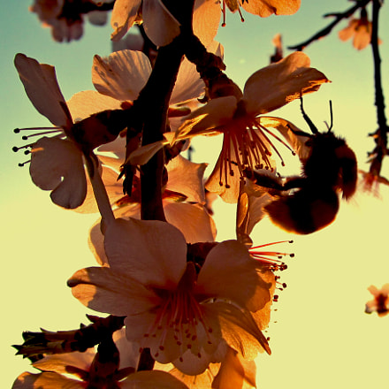 Sunset and Bee, Canon POWERSHOT SX150 IS