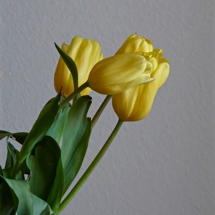 Yellow tulips, Sony ILCE-6000, Sony E 18-200mm F3.5-6.3 OSS