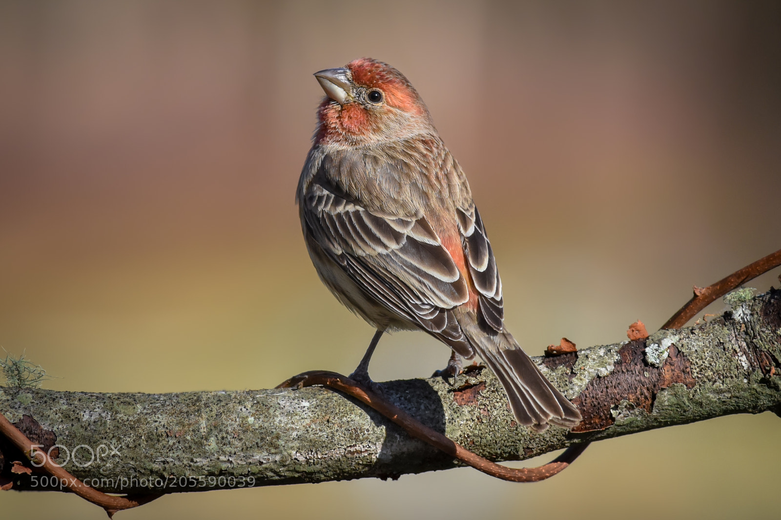 House Finch, Nikon D750, AF-S VR Nikkor 300mm f/2.8G IF-ED
