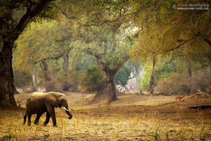 Photograph Elephant strolls in enchanted forest by Alison Buttigieg on 500px