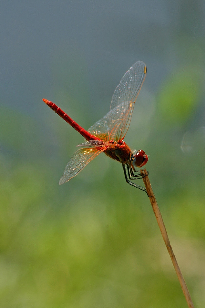 Photograph red dragonfly III by Andreea Redacaju on 500px