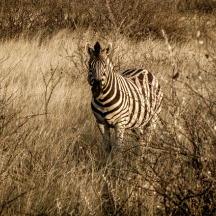 Zebra in Etosha National, Canon POWERSHOT SX230 HS