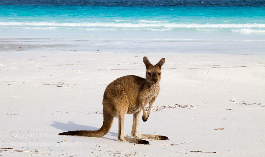 Lucky Roo @ Lucky Bay by Hans Fischer on 500px.com