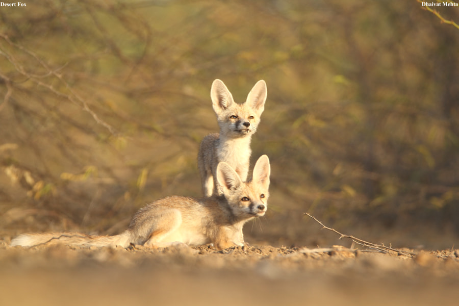 What is up there ? Desert Fox puppies by Dhaivat Mehta on 500px.com
