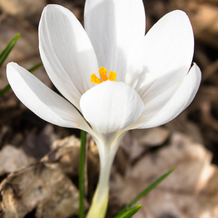 White Crocus, Canon EOS 650D, Canon EF 75-300mm f/4-5.6 IS USM