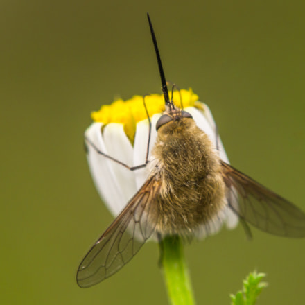 bee fly, Canon EOS 60D, Tamron SP AF 180mm f/3.5 Di Macro