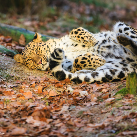 Panthera pardus orientalis, Canon EOS 5D MARK III, Canon EF 300mm f/2.8L IS
