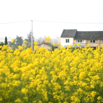 Rapeseed flower, Canon EOS 6D, Canon EF 28-105mm f/3.5-4.5 USM
