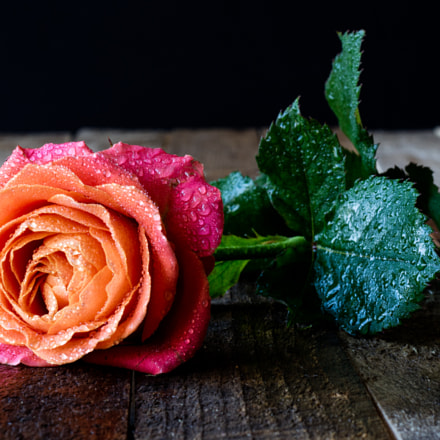 Wet rose on a, Canon EOS M3, Canon EF 50mm f/1.8 STM