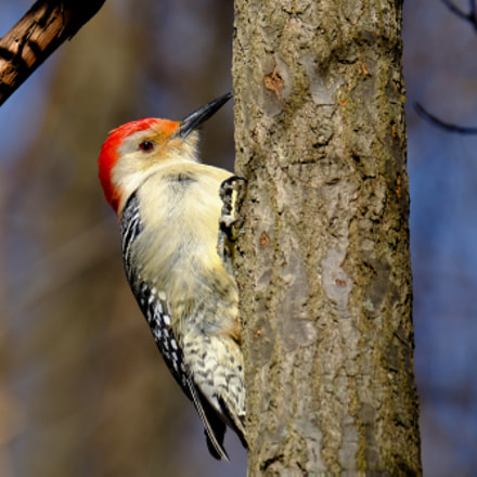 Red-bellied Woodpecker, Fujifilm X-T10, XF100-400mmF4.5-5.6 R LM OIS WR + 1.4x