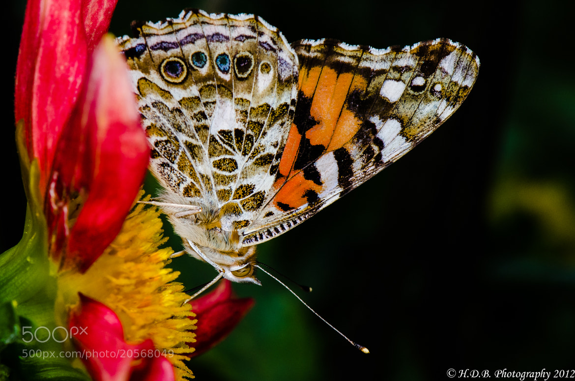 Photograph Painted Lady Butterfly by Harold Begun on 500px