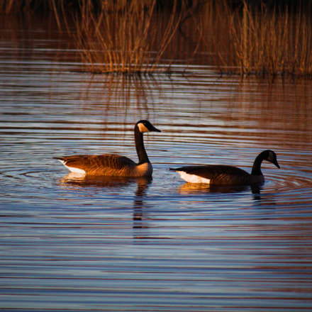 Geese at sunset, Canon EOS REBEL T5I, Canon EF 80-200mm f/4.5-5.6