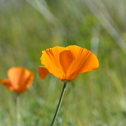 California Poppy, Nikon D7100, Sigma 70-300mm F4-5.6 DG OS